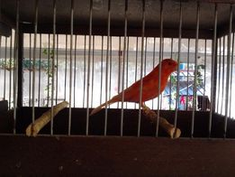 кенаря,Пирруры,Розовогрудые кольчатые попугаи,