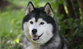 i am selling my pure breed husky