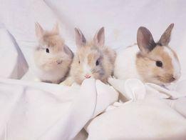 Malutkie Karzełki karzełek Królik króliki miniaturki miniaturka
