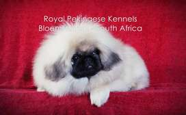 Quality Pekingese Puppies For Sale - Bloemfontein, South Africa
