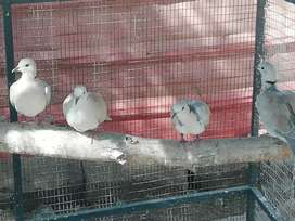 Laughing Doves for sale