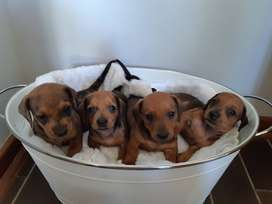 Miniature Dapple Dachshund puppies looking for loving home