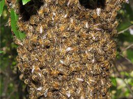 Продам пчелосемьи Карпатка, Бакфаст и Кавказские