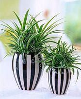 растение хлорофитум, красивый, оно совсем не прихотливо, чистит воздух
