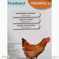 Инкубационное яйцо и цыплята куры РедБро