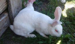 Кролі Самці панон 4 місяці