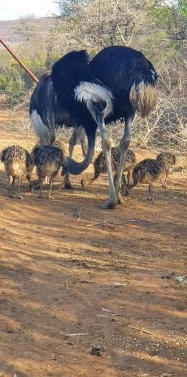 Ostriches for sale