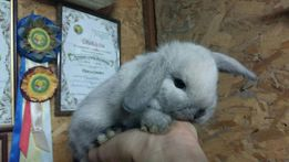 Вислоухий карликовый крольчонок миниатюрный NHD сиамского окраса