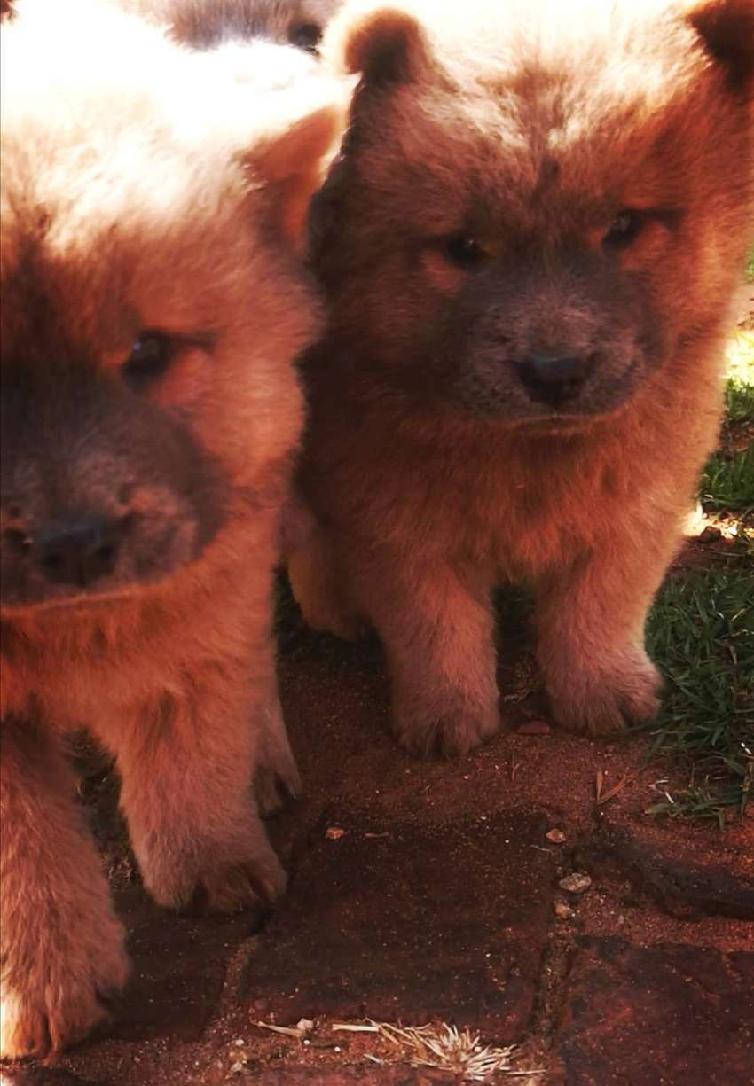 Purebred Chow Chow Puppies 0