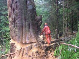 Бензопила, удаление аварийных деревьев