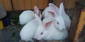 RABBITS FOR SALE 8 WEEKS OLD (NEWZEALAND WHITE)