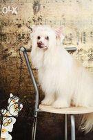 кобель Китайской Хохлатой собаки