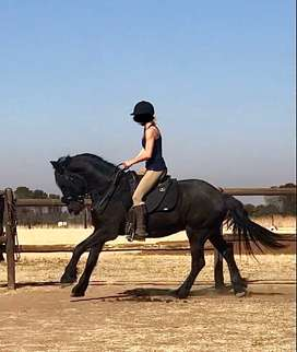 Horse : Fresian for sale