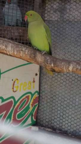 Green Ring neck parrot for sale
