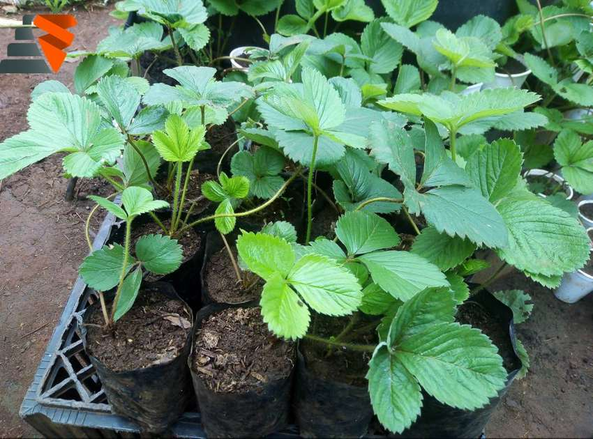 Strawberry seedling available at R15 at Thohoyandou 0