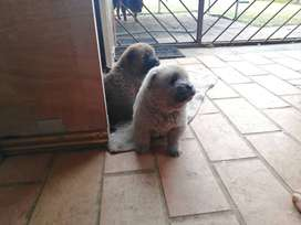 Chow puppies for sale