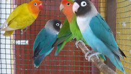 Папугаи Неразлучники Любовні птахи-різнокольорові