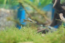 Gupik Endlera/Endlera cobra (Poecillia wingei) Ładnie wybarwione!