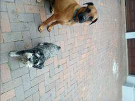 Experienced dog walker in Bedfordview, Germiston, Edenvale