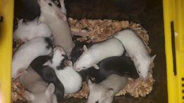 оболденные американские мышки