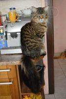 Крупный кот Мейн-кун для вязки
