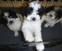 Image of Poodle puppy