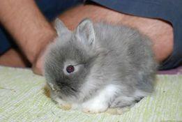 Декоративный карликовый кролик львиноголовый Ангора - породистые