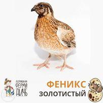 Инкубационные яйца перепелов - Феникс золотистый - бройлерный перепел