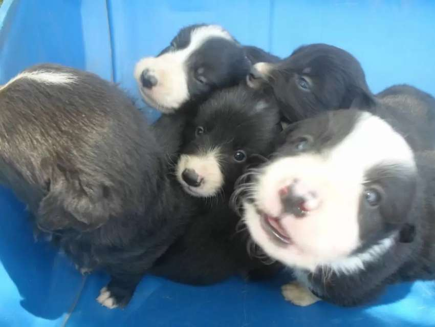 Border collie puppies 0