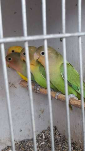 Rosy opaline Lovebirds and budgies