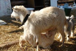 Козье молоко - натуральный продукт, чистое, без запаха.