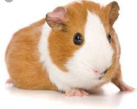 Wanted 2 baby guinea pigs