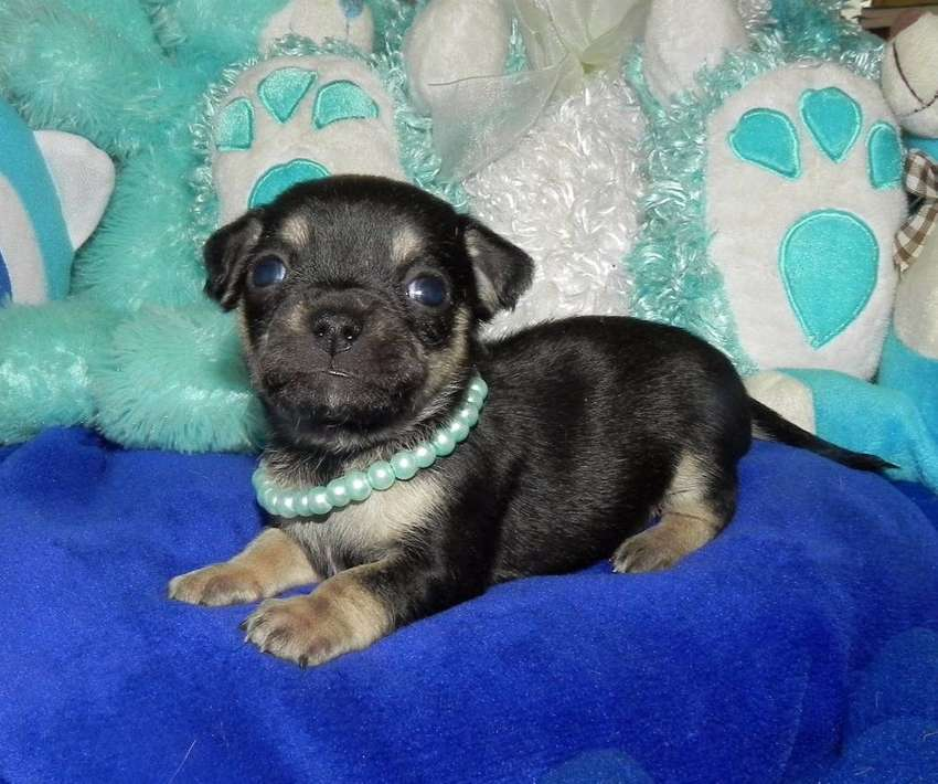Small type applehead chihuahua puppy 0