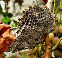 снятие роев пчел, устранение ос, осиных гнезд, шершней и тд.