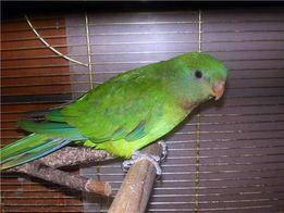 Барабандовый попугай по отличной цене!!!