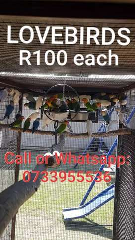 LOVEBIRDS R100