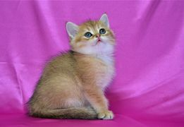 Британские чистокровные золотые котята Изумруд и Ингрид