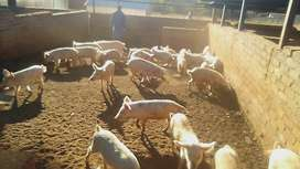Pig Project for sale