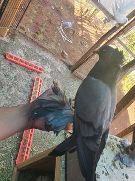 I have some beautiful pigeon available