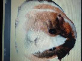 Looking for 2 x Guinea pigs