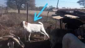 goats for selling