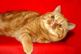Шикарный кот экзот приглашает на вязку!
