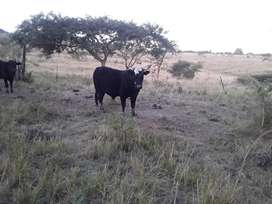 Last  cow  for sale