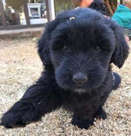 Black Russian Terrier X Labrador Puppies