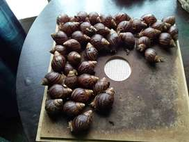 Giant African Land Snails (GALS)