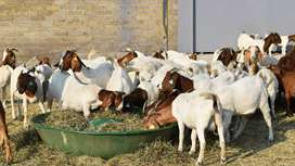 We buy goats,sheep,cattle for cash