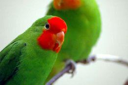 Попугаи Неразлучники-ручные малыши
