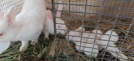 RABBITS FOR SALE NEWZEALD WHITE AND CALIFORNIAN 5 T0 10 MONTHS