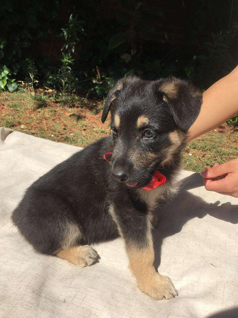 Pure Bred German Shepherd Puppies for sale 0