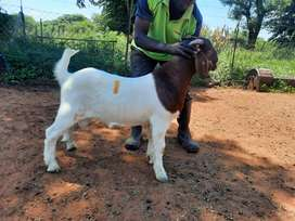 Pure Boergoat rams for sale